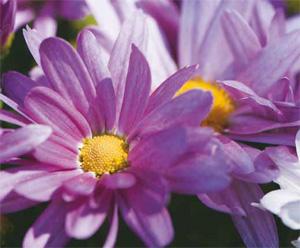 Pri izbiri sezonskega cvetja, ki je samostojna zasaditev ali dopolnilo, je izjemno pomembna barva, saj lahko uporabimo več rastlinskih vrst v odtenkih ene barve ali pa različne rastlinske strukture in teksture povežemo v eni barvi.